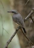 Ceylon Wood-shrike (Tephrodornis affinis)