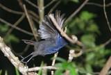 Ceylon Whistling Thrush (Myophonus blighi)