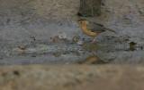 Brown-capped Babbler (Pellorneum fuscocapillus)