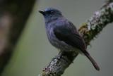 Dull blue Flycatcher (Eumyias sordidus)