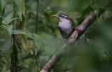 Ceylon Scimitar Babbler (Pomatorhinus melanurus)