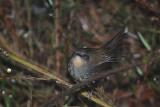 Ceylon bush warbler (Bradypterus palliseri)
