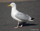 Seagull or Herring Gull