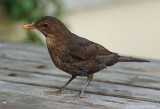 Blackbird Female.