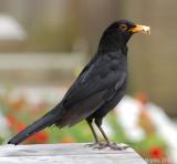 Blackbird Male.