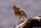Robin 1.