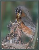 Robin at Nest