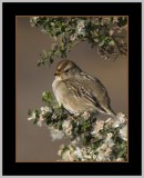 White-crowned Sparrow female