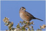 White-crowned Sparrow male