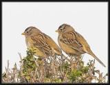 White-crowned Sparrows female