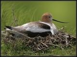 American Avocet on Nest