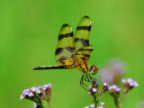 Florida Dragonflies