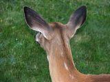 Velvet Ears