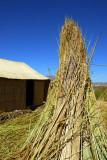 Totora reeds