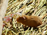 Guinea Pig, Uros Islands