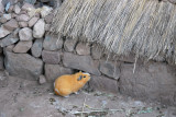 The guinea pigs have their own little thatched house