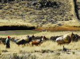 Pack llamas outside Tiquillaca