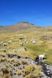 Herd of Alpaca by a stream