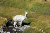 We've seen more alpaca than people driving this way