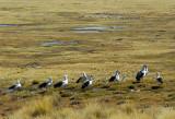 A flock of Andean Geese (Chloephaga melanoptera)