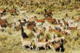 Large Llama herd, Santa Lucia