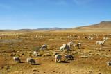 Mixed flock of sheep and alpaca