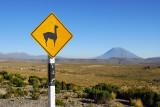 Vicuña wildlife sign with El Misti, Reserva Nacional Salinas y Aguada Blanca