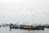 Gulls flocking over the fishing fleet at Paracas