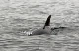 Common dolphin (Delphinus delphis) Peru