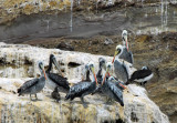 Peruvian Pelicans (Pelecanus thagus) Paracas Peninsula