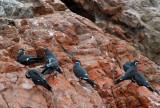 Incan Terns (Larosterna inca)  Islas Ballestas