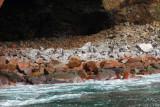 Penguins in front of a sea cave, Islas Ballestas