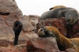 South American Sea Lions (Otaria flavescens) Islas Ballestas