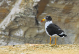 Belcher's Gull (Larus belcheri) Paracas