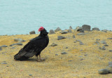 Turkey vulture, Paracas National Reserve