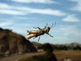 Giant grasshopper on the windshield