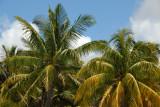 Palm trees, Shandrani Hotel