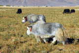 Shaggy gray yaks