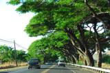 Trees along the Honoapiilani Highway