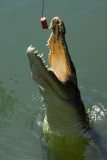 Saltwater crocodile lunging for the hot dog
