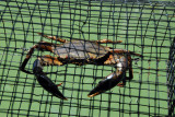 A big crab in a trap, Ngerdorch River