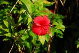 Hibiscus, Palau