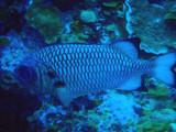 Shadowfin Soldierfish (Myripistis adusta) Palau