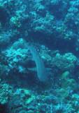Whitetip reef shark resting on the bottom