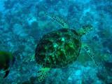 Green Sea Turtle, Blue Corner, Palau