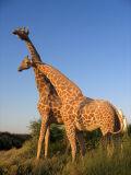 Giraffes, Dubailand Sales Center