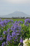 Mt. Taranaki with wildflowers