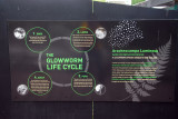 Live cycle of the glowworm