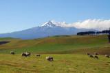 Sheep grazing beneath the volcano Mt. Ruapehu