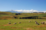 Sheep grazing with Mount Ruapehu in the distance